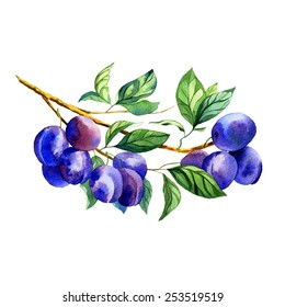watercolor fruit plum branch on white background