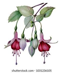 watercolor fuchsia flower sketch