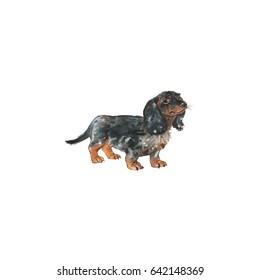 Watercolor German badger dog. Hand drawn Dachshund portrait. Painting isolated pet illustration on white background