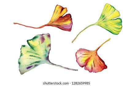Watercolor Ginkgo Biloba leaves.