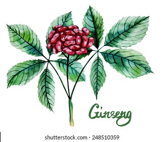 Watercolor ginseng berries