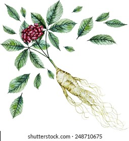 Watercolor ginseng root and berries