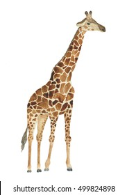 Watercolor giraffe illustration. Nice animalistic drawing isolated on white.