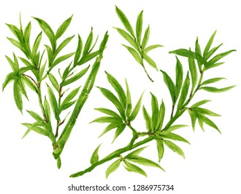 Watercolor Gouache Hand drawn green bamboo leaves and branch set isolated on white background