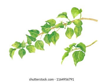 Watercolor green leaf isolated on white background.illustration for greeting cards, invitations, and other printing projects. High resolution.Clipping path.