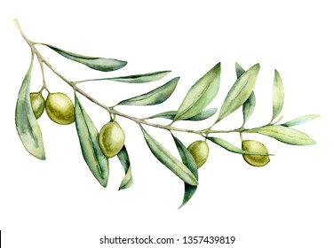 Watercolor green olive branch set. Hand painted floral illustration with olive fruit and tree branches with leaves isolatedon white background. For design, print and fabric