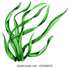 Watercolor green seaweed. Grass close up. Plant isolated on white background
