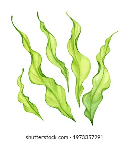 Watercolor green seaweed set. Transparent fresh sea plant isolated on white. Realistic botanical illustrations collection. Hand painted underwater grass