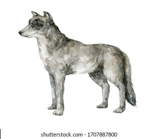 Watercolor grey wolf. Realistic hand-painted herbivorous wild animal isolated on white background
