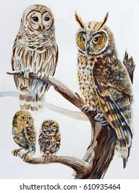 Watercolor hand draw realistic owl species illustration - Barred owl (Strix Varia), Long Eared owl (Asio Otus), Elf owl (Micrathene Whitneyi) .