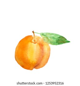 Watercolor hand drawn apricot with green leave isolated on white background