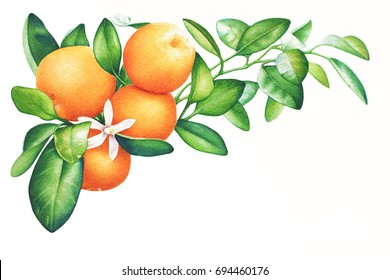 Watercolor hand drawn branch of tangerine with green leaves isolated on white background