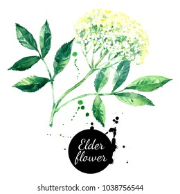 Watercolor hand drawn elder flower illustration. Painted sketch isolated on white background