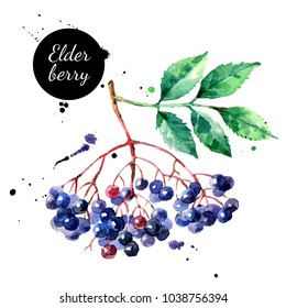 Watercolor hand drawn elderberry illustration. Painted sketch isolated on white background