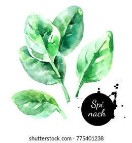 Watercolor hand drawn fresh spinach herb. Isolated organic natural green eco food illustration on white background