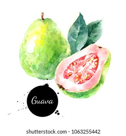 Watercolor hand drawn guava fruit illustration. Painted sketch isolated on white background. Superfoods poster