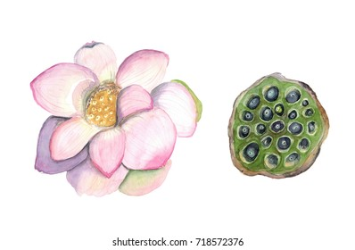 Watercolor hand drawn illustration of flower and lotus fruits isolated on white