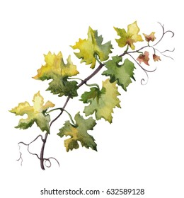 Watercolor  hand drawn illustration of grape leaf. Raster design element on white background.