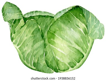 Watercolor hand drawn illustration of green cabbage. Leafy vegetable. Farm harvest isolated on the white background. Vegan food