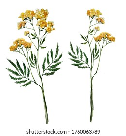 Watercolor hand drawn isolated botanical element herb tansy. Yellow blossom grass, natural object for design. Print, sticker, wallpaper template.