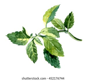Watercolor hand drawn mint. Isolated eco natural food herbs illustration on white background.