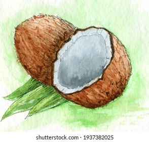 watercolor hand drawn picture of coconut