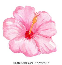 watercolor hand drawn pink hibiscus flower isolated on white background. Tropical flora