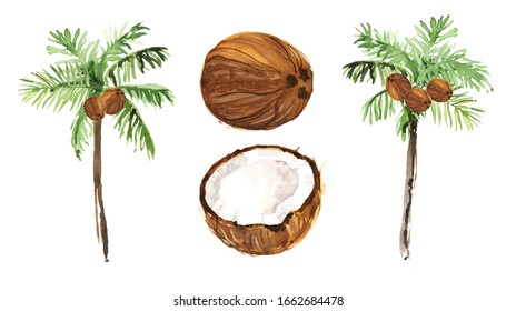 Watercolor hand drawn rainforest tropical palms with coconut botanical illustration isolated on white background