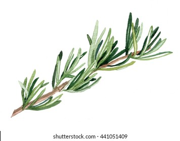 Watercolor hand drawn rosemary. Isolated eco natural food herbs illustration on white background.