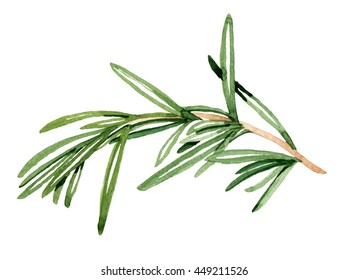 Watercolor hand drawn rosemary. Isolated eco natural food herb.