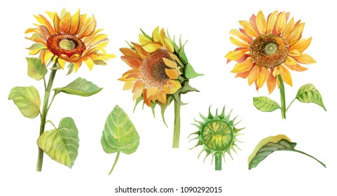 Watercolor hand drawn sunflower isolated on white. Sunflower head, leaves, buds.