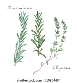 Watercolor hand drawn thyme and rosemary twigs illustration isolated on white background. Fresh eco natural food medicinal herbs. Detailed realistic elegant sketch.