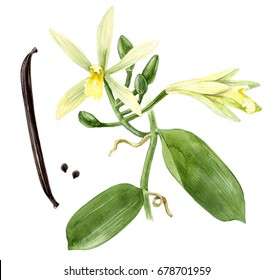 Watercolor hand drawn vanilla plant. Botanical illustration