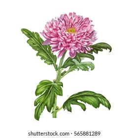 Watercolor hand painted chrysanthemum. Can be used as background for web pages, wedding invitations, greeting cards, textile design, wallpapers, patterns, package design and so on.