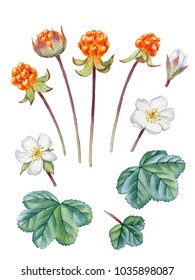 Watercolor hand painted cloudberry. Can be used as romantic background for web pages, wedding invitations,  greeting cards, postcards, textile design, package design, patterns, prints.