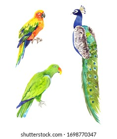 Watercolor hand painted exotic tropical parrots and peacock illustration set isolated on white background
