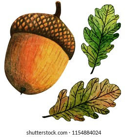 Watercolor hand painted illustration autumn oak leaves and acorn. Isolated on white background. Perfect for wrapping paper, wallpaper, textile. Autumn season.