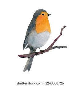 Watercolor hand painted illustration. Robin bird sitting on the branch isolated on white background.