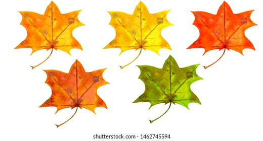 Watercolor hand painted isolated elements on white background. Colorful realistic autumn maple leaves in red, orange, gold, yellow and green colours.