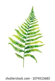 Watercolor hand painted leaf of fern plants on white background