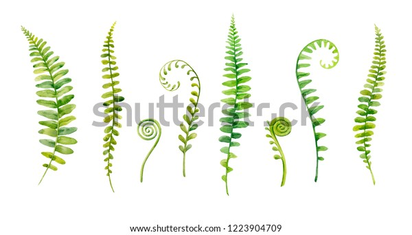 Watercolor hand painted leaves of fern plants on white background.