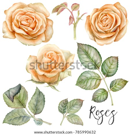 Watercolor Hand Painted Orange Vintage Roses Stock Illustration