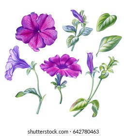 Watercolor hand painted petunia flower.Can be used as romantic background for web pages, wedding invitations, greeting cards, postcards, textile design, package design, wallpapers, prints, patterns.