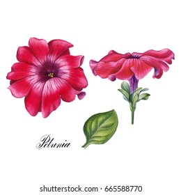 Watercolor hand painted petunia flower. Can be used as romantic background for web pages, wedding invitations, greeting cards, postcards, textile design, package design, wallpapers and so on.