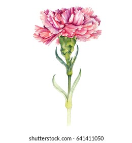 Watercolor hand painted pink carnation. Can be used as background for wedding invitations, greeting cards, postcards, textile design, package design, patterns, prints and so on.