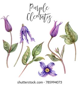 Watercolor hand painted purple clematis. Flowers and leaves of clematis.