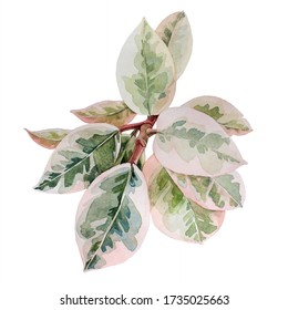 Watercolor hand-drawn branch with green leaves isolated on white background. Ficus, rubber plant. Nature art creative object for card, stiker, textil, wrapping