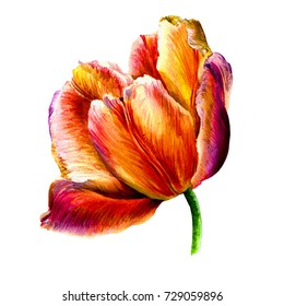 Watercolor hand-drawn tulip flower isolated on the white background.Red,yellow,pink,rose,orange,violet petals.Beautiful greeting and invitation card.