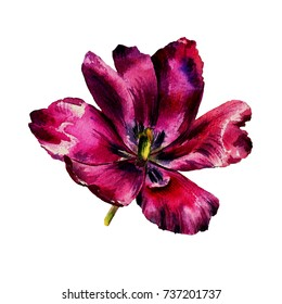 Watercolor hand-drawn tulip flowers isolated on the white background..Bright exotic greeting and wedding card.Pink,rose,purple,violet,red petals.Beautiful designed composition.