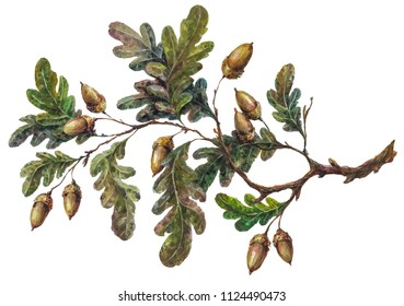 Watercolor handsketched oak tree branch, leaves and acorns isolated on white. Vintage style botanical illustration. Rustic handpainted boho element, floral wedding decoration.